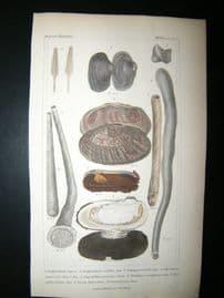 Cuvier C1835 Antique Hand Col Print. Shells #40