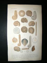 Cuvier C1835 Antique Hand Col Print. Shells #8