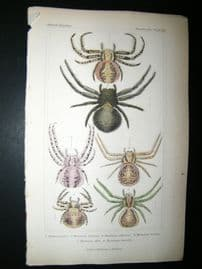 Cuvier C1835 Antique Hand Col Print. Spiders #10A