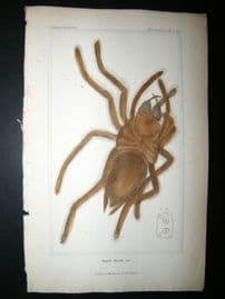 Cuvier C1835 Antique Hand Col Print. Spiders #2