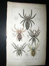 Cuvier C1835 Antique Hand Col Print. Spiders #22