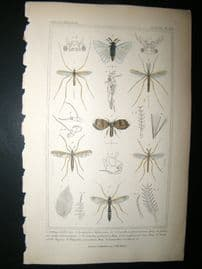 Cuvier C1835 Antique Hand Col Print. Stylops, Anophele, Coretha 104 Insects