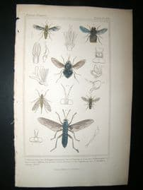 Cuvier C1835 Antique Hand Col Print. Tabanus, Pangonia 108 Insects