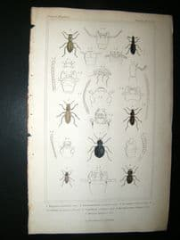 Cuvier C1835 Antique Hand Col Print. Tagenia, Psammeticus,Scaurus, 38 Insects