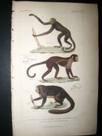 Cuvier C1835 Antique Hand Col Print. The Mikiri, The Weeper, Sapajou, 12