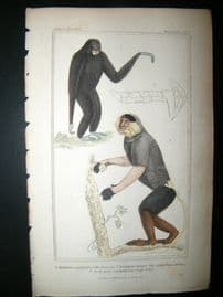 Cuvier C1835 Antique Hand Col Print. The Siamang, The Cochin-China, Monkey, 17