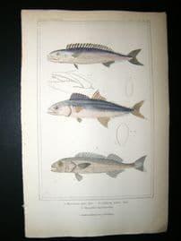 Cuvier C1835 Antique Hand Col Print. Thyrsites, Cybinan Fish #35