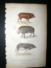 Cuvier C1835 Antique Hand Col Print. White Lipped Peccary, Wild Hog, 50