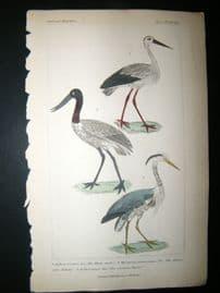 Cuvier C1835 Antique Hand Col Print. White Stork, American Jabiru, Common Heron, 66