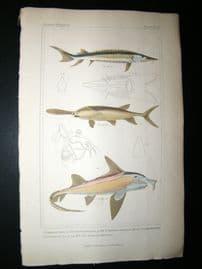 Cuvier C1835 H/Col Print. Common Sturgeon, Spatularia, Callorhynethus Fish #77
