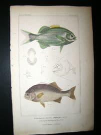 Cuvier C1835 H/Col Print. Pimelepterus, Diptorodon, Head Of Pimelepterus Fish #35