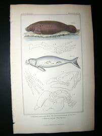 Cuvier C1835 Hand Col Print. American Lamantin Or Sea Cow, The Dugong #61