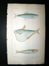 Cuvier C1835 Hand Col Print. Common Herring, American Pristigaster Fish #67