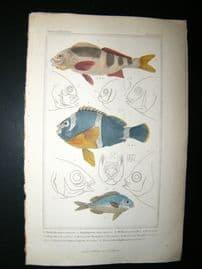 Cuvier C1835 HC Print. Cheilodaetylus, Heliases, Head Of Scolopsides Fish #25