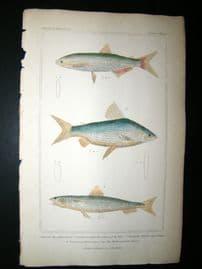 Cuvier C1835 HC Print. Salmon Of Nile, Curinnata, Mediterranean Saurus Fish #66