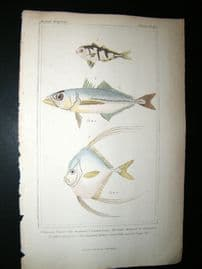 Cuvier C1835 HC Print. The Sheperd,  False Mackerel, Egyptian Gallus Fish #29