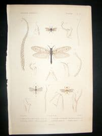 Cuvier C1840 Antique Hand Col Print. Insects 105