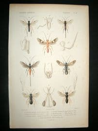 Cuvier C1840 Antique Hand Col Print. Insects 112