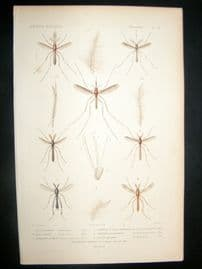 Cuvier C1840 Antique Hand Col Print. Insects 161