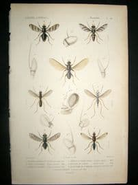 Cuvier C1840 Antique Hand Col Print. Insects 181