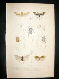 Cuvier C1840 Antique Hand Col Print. Insects 97