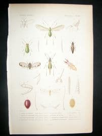 Cuvier C1840 Antique Hand Col Print. Insects 99