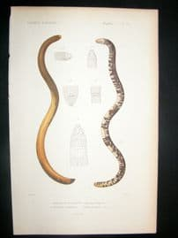 Cuvier C1840 Antique Hand Col Print. Snakes 25