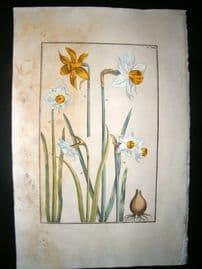 Daniel Rabel 1771 Folio Botanical. Great Yellow, White & Pyrenees Narcissus 19