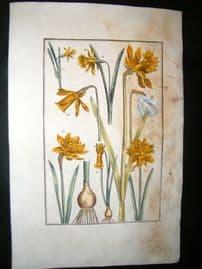 Daniel Rabel 1771 Folio Botanical. Narcissus. Spannish Daffodil 20