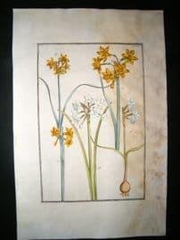 Daniel Rabel 1771 Folio Hand Col Botanical. African & Spanish Narcissus 18