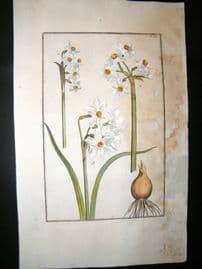 Daniel Rabel 1771 Folio Hand Col Botanical. Constantinople & White Narcissus 16
