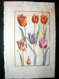 Daniel Rabel 1771 Folio Hand Col Botanical. Ducal Tulip, Red & Violet Tulip 4