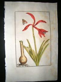 Daniel Rabel 1771 Folio Hand Col Botanical. Narcissus of India 12