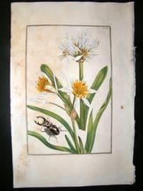 Daniel Rabel 1771 Folio Hand Col Botanical. Narcissus, Sea Daffodil 13