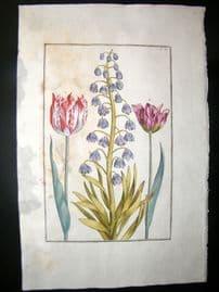 Daniel Rabel 1771 Folio Hand Col Botanical. Variegated Red Tulip 3