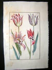 Daniel Rabel 1771 Folio Hand Col Botanical. White Tulips 5