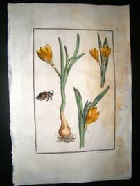 Daniel Rabel 1771 Folio Hand Col Botanical. Yellow & Persian Narcissus 14