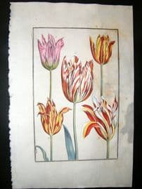 Daniel Rabel 1771 Folio Hand Col Botanical. Yellow, White & Red Tulips 6