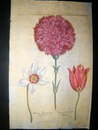 de Bry Florilegium Renovatum 1641 Antique Botanical Print. Anemone, Tulip
