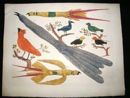 Albertus Seba: C1750 Paradise Birds 60. LG Folio Hand Col Print