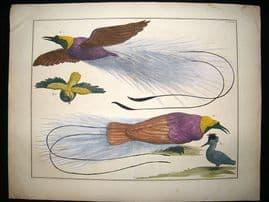 Albertus Seba: C1750 Paradise Birds 63. LG Folio Hand Col Print