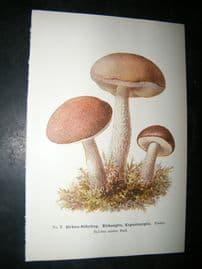 Edmund Michael Fungi C1900 Mushroom Print. Birken-Rohrling