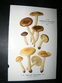 Edmund Michael Fungi C1900 Mushroom Print. Gelbblattriger Schneckling