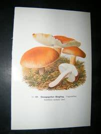 Edmund Michael Fungi C1900 Mushroom Print. Orangegelber Ringling