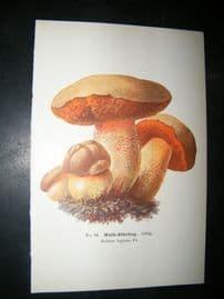 Edmund Michael Fungi C1900 Mushroom Print. Wolfs-Rohrling