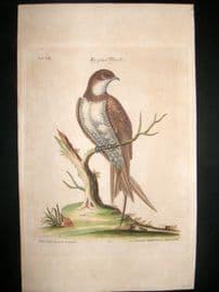 Edwards Seligmann C1760 Folio Hand Col Bird Print. Great Martin Swallow