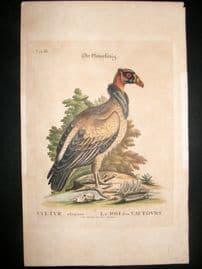 Edwards Seligmann C1760 Folio Hand Col Bird Print. Royal King Vulture
