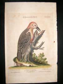 Edwards Seligmann C1760 Folio Hand Col Bird Print. Woodpecker of Jamaica