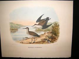 Elliot Birds of North America 1869 LG Folio H/Col Print. Western Sandpiper