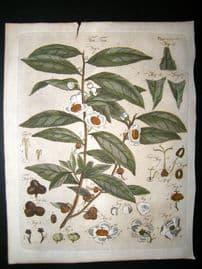 Encyclopaedia Britannica C1790 Hand Col Botanical Print. Tea Tree